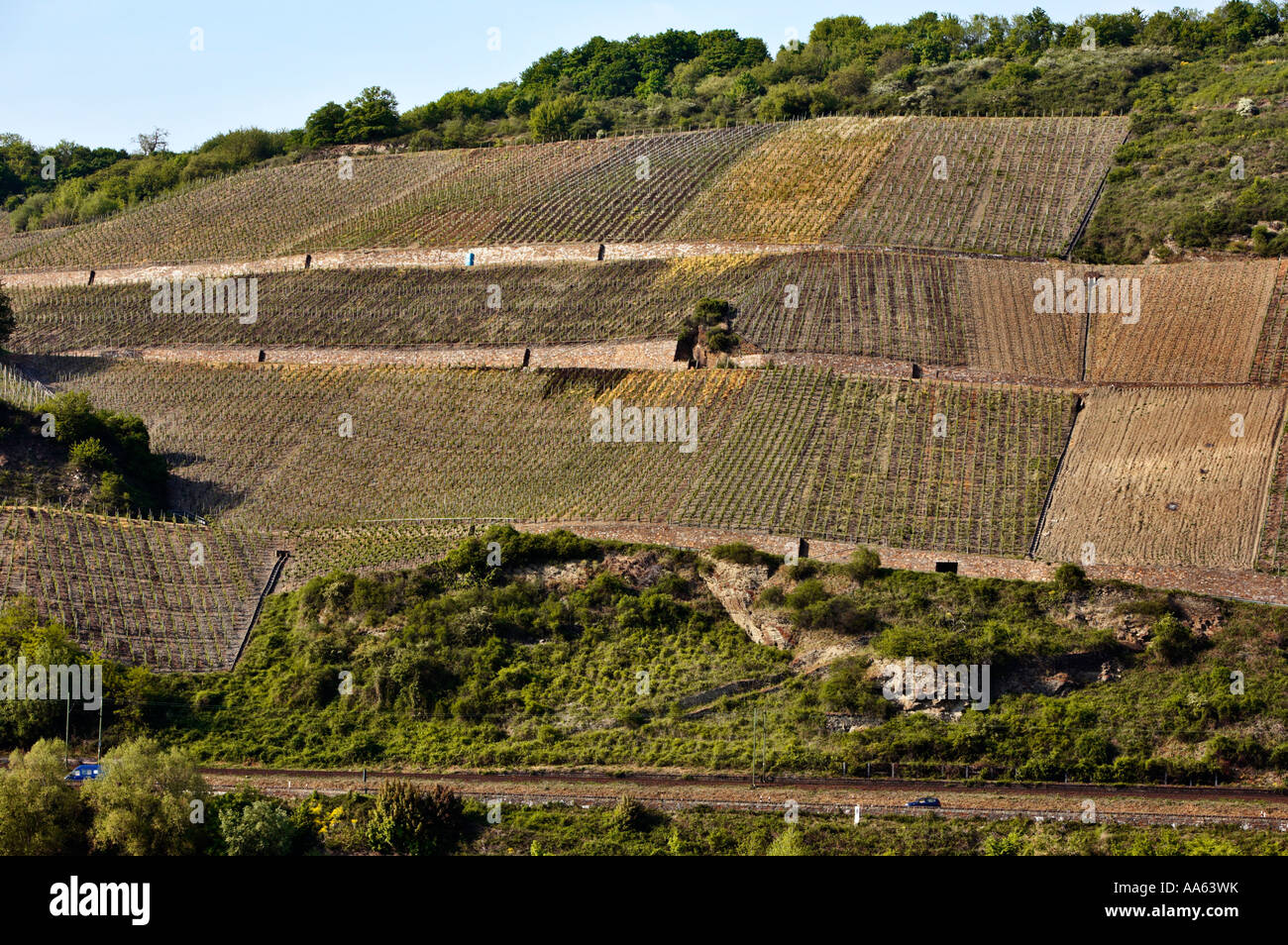 Vineyard , Germany - on the banks of the Rhine in the Upper Middle Rhine Valley, Germany in spring time - Stock Image