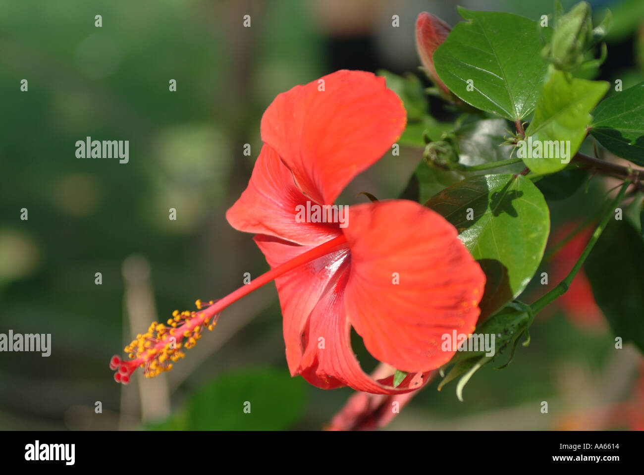 Hardy yellow hibiscus stock photos hardy yellow hibiscus stock red hibiscus flower in full bloom near spanish border in portugal stock image izmirmasajfo