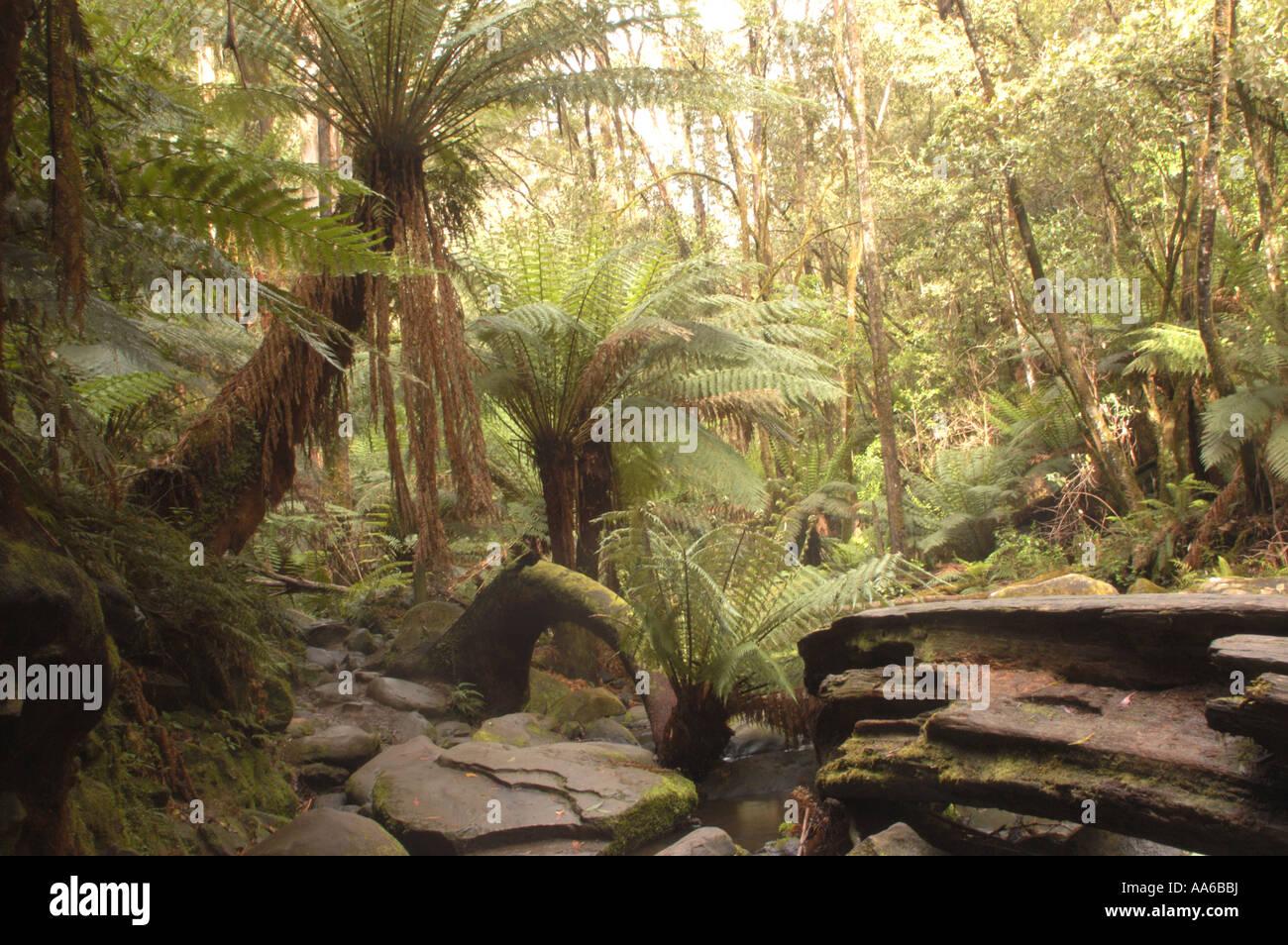 Temperate rainforest, Otways National park - Stock Image