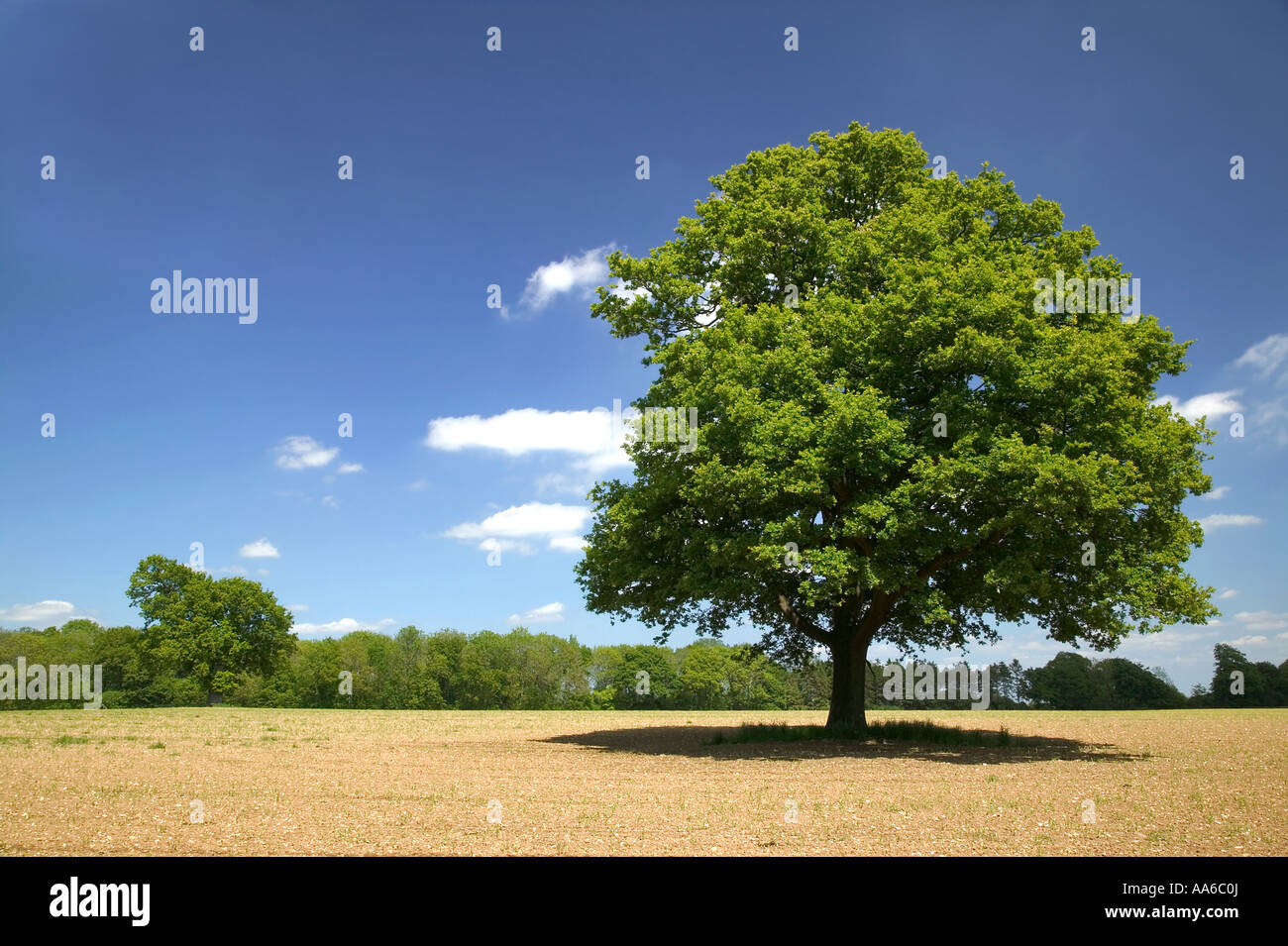 Oak tree in a field on a sunny day, taken in a field in Hampshire, England. - Stock Image