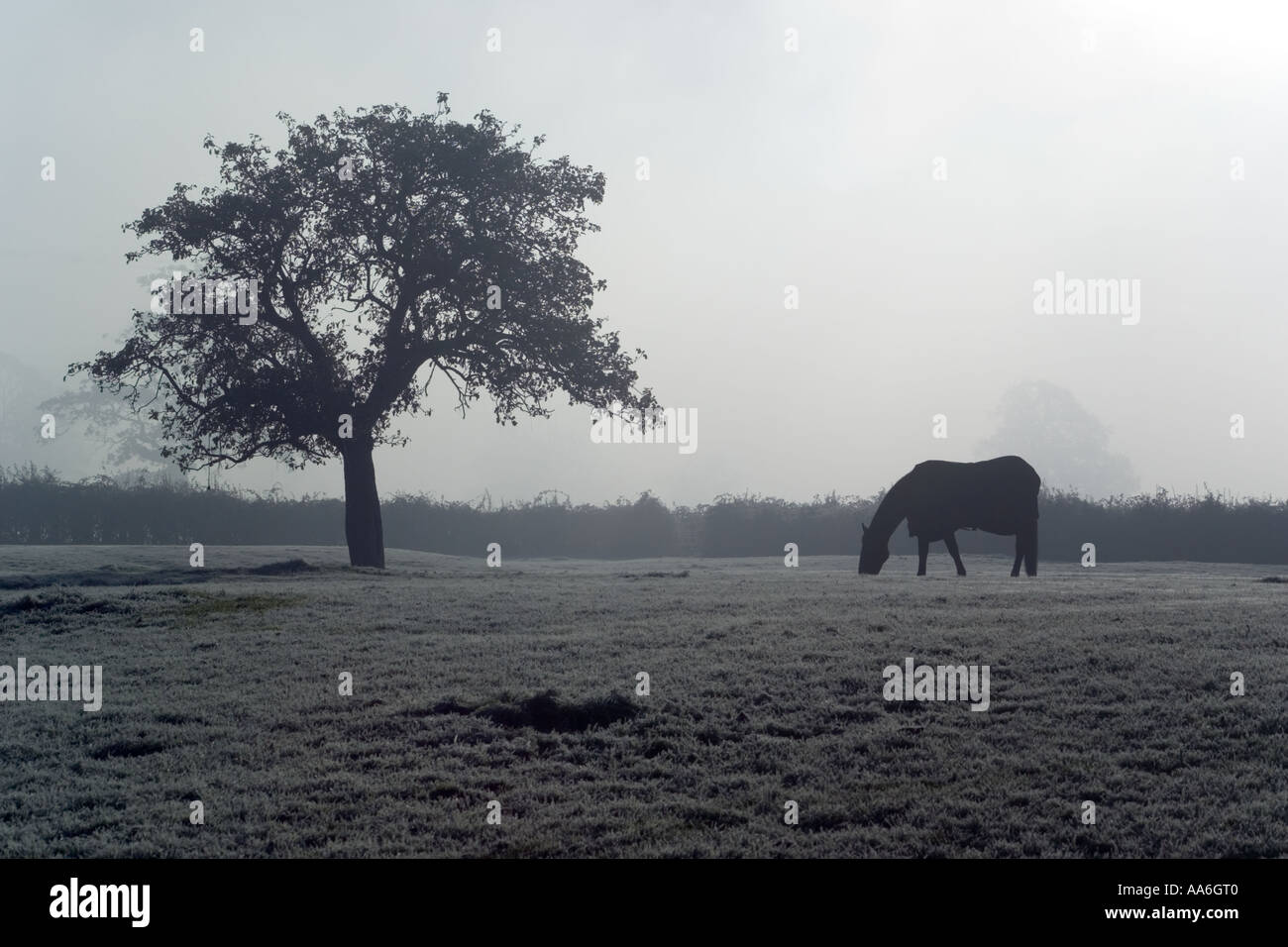 A horse grazing an old Cotswold orchard in the autumn mist at Little Haresfield, Gloucestershire - Stock Image