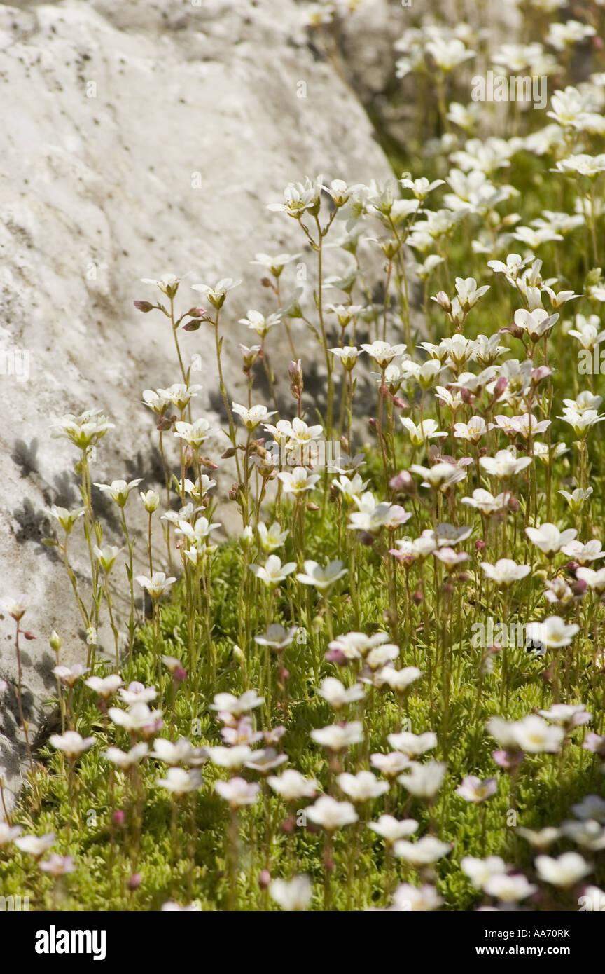 White Flowers Of Moss Saxifrage Saxifragaceae Saxifraga Stock
