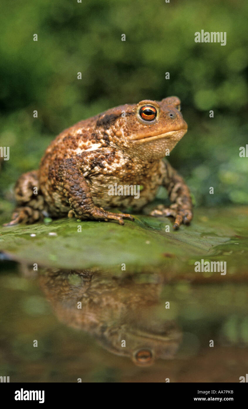 common toad Bufo bufo on lily pad spring Cornwall Stock Photo