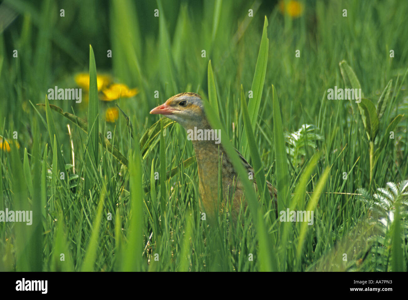 Corncrake Crex crex in iris bed Outer Hebrides June 2004 Stock Photo