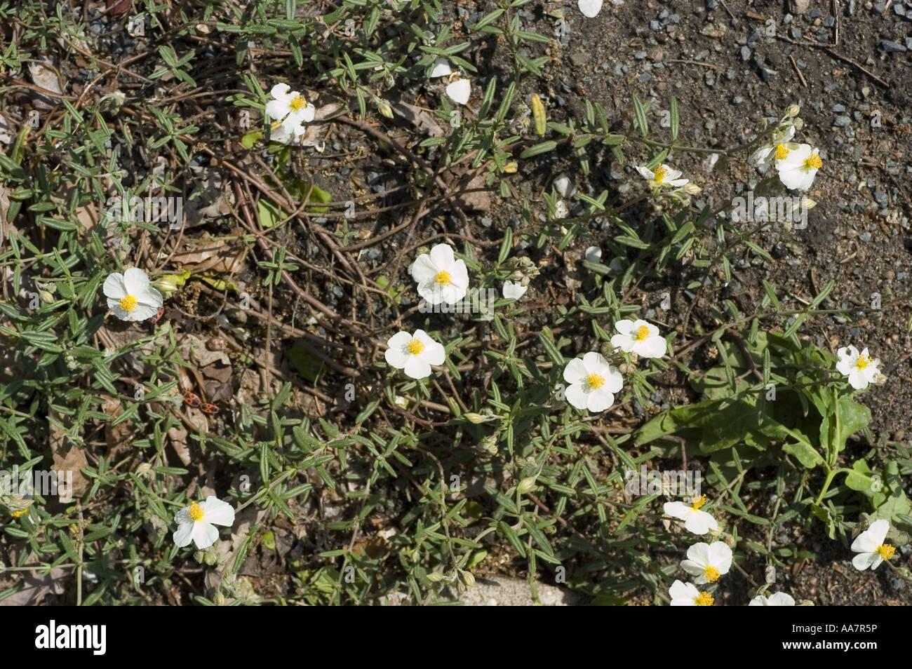 White yellow spring flowers of white rock rose is a white flowering white yellow spring flowers of white rock rose is a white flowering rock rose cistaceae helianthemum apenninum europe mightylinksfo