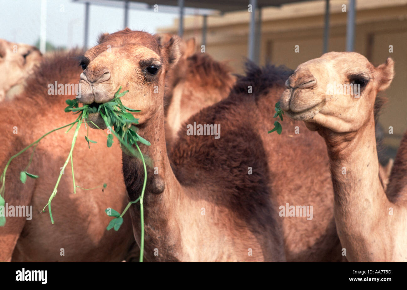 Camels chewing greens at El Hebel camel market near Luxor Egypt - Stock Image