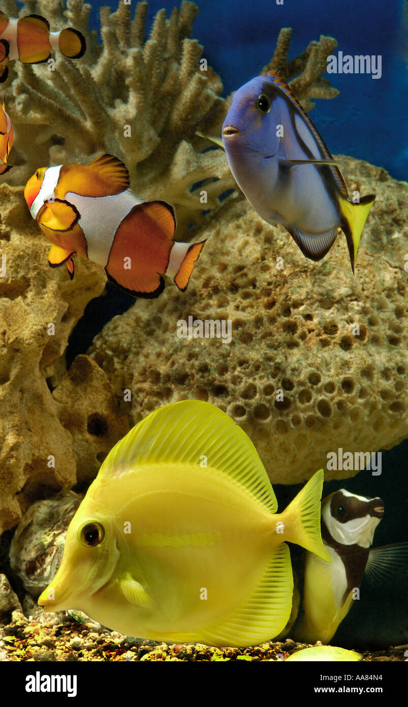 Clown Regal Tang Yellow Tang Fish In A Fish Tank Stock Photo
