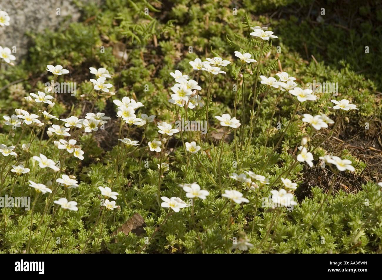 White Flowers Moss Saxifrage Saxifragaceae Stock Photos White
