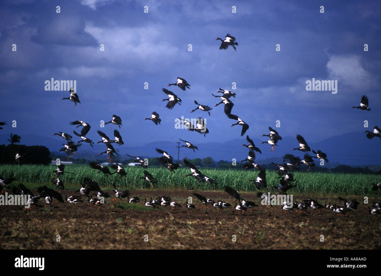 Magpie geese over canefield queensland australia - Stock Image