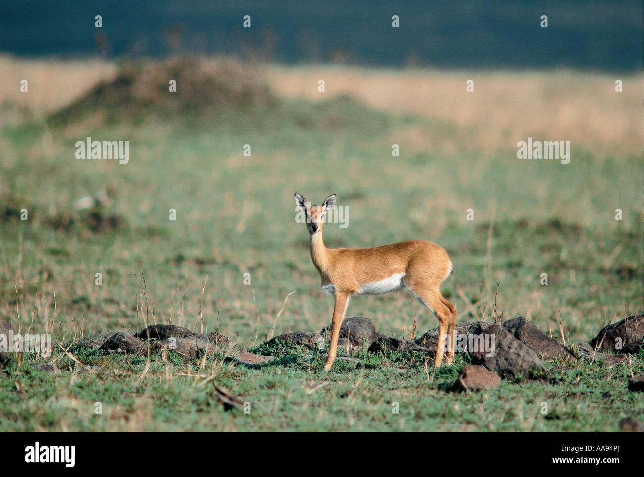 Female Steinbok or Steenbok a small reddish antelope Masai Mara National Reserve Kenya - Stock Image