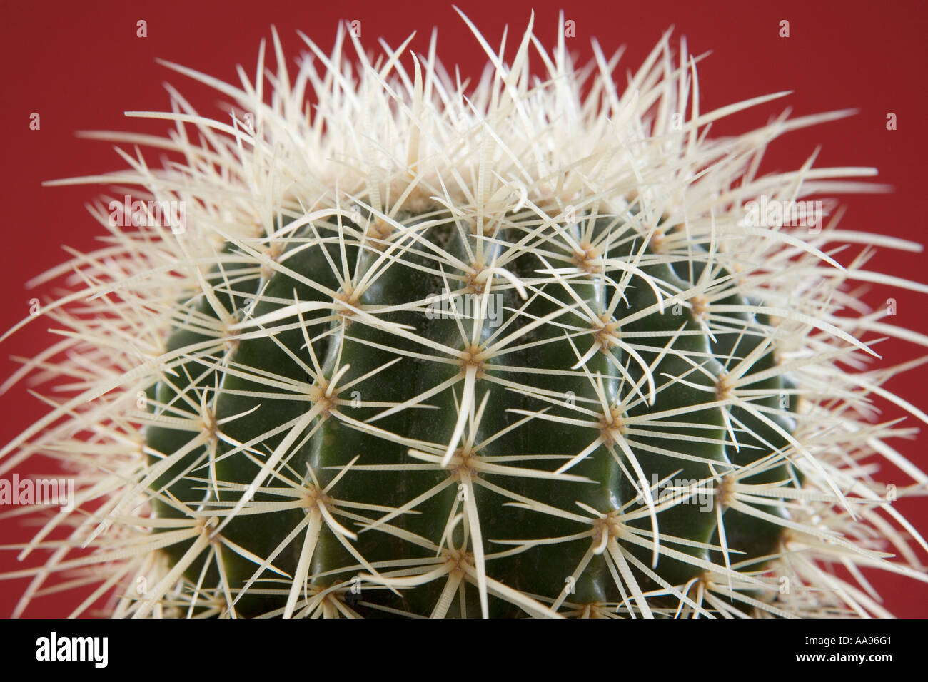 Cactus, close-up, against red background - Stock Image