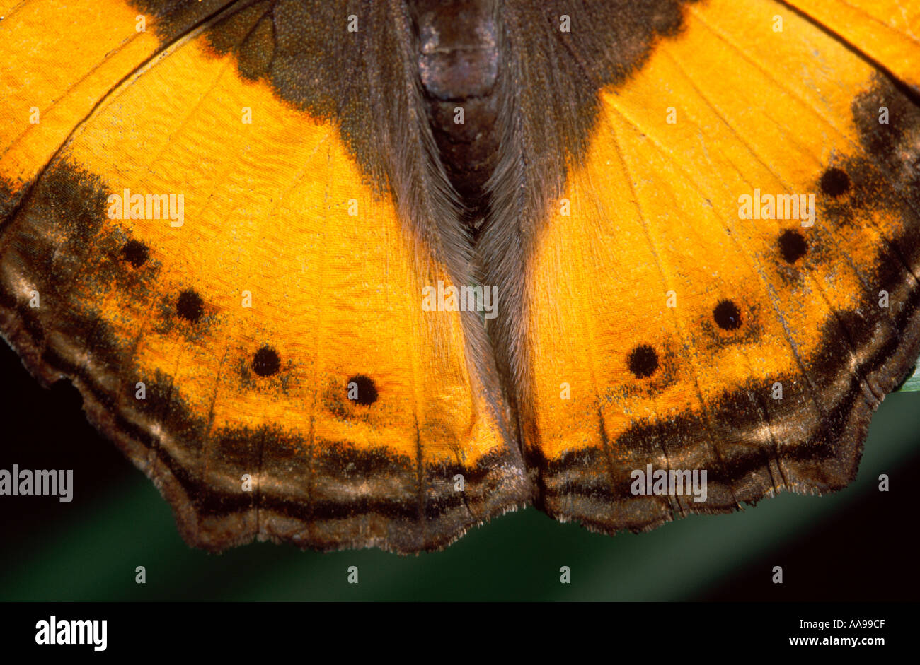 Australian lurcher butterfly (Yoma sabina) hindwings. Melbourne Zoo, butterfly house. - Stock Image