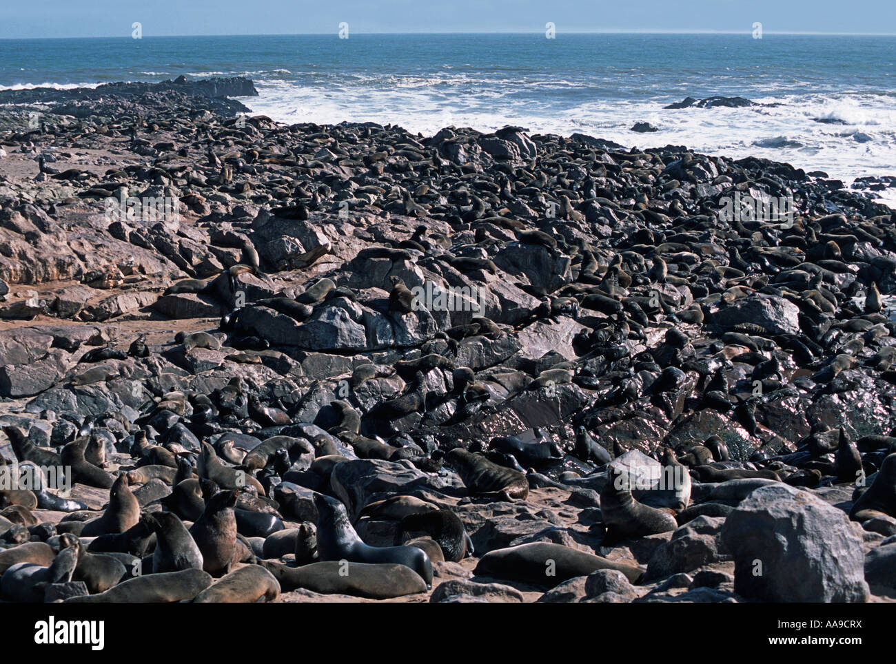 Cape Fur Seals During mating seasons thousands of seals can be seen sprawled across the beaches at Cape Cross Namibia - Stock Image