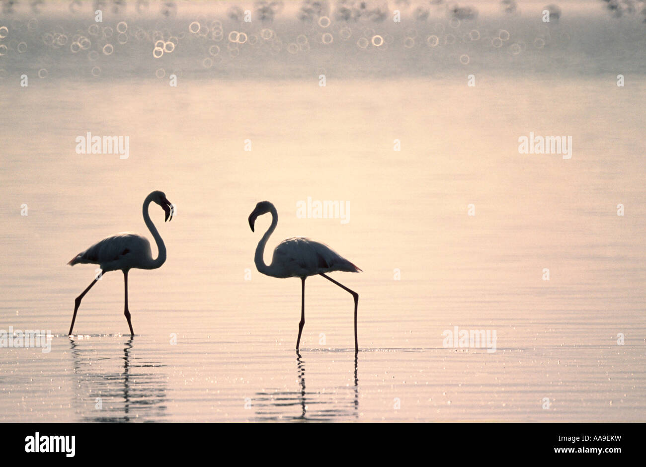 Silhouetted flamingoes Walvis Bay The lagoon is Namibia s most important wetland Namibia Southern Africa - Stock Image