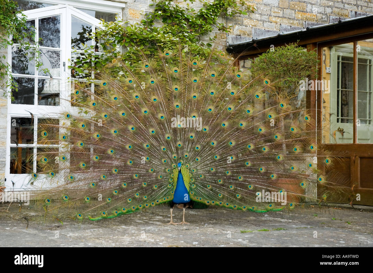 Indian Blue Peacock Pavo Phasianidae - Stock Image