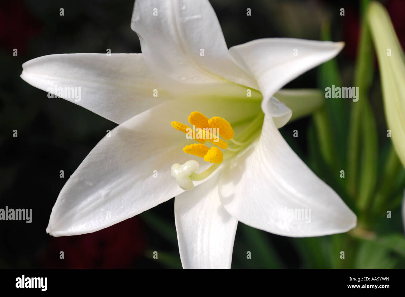 White madonna lily lilium candidum flower stock photo 12562784 alamy white madonna lily lilium candidum flower izmirmasajfo