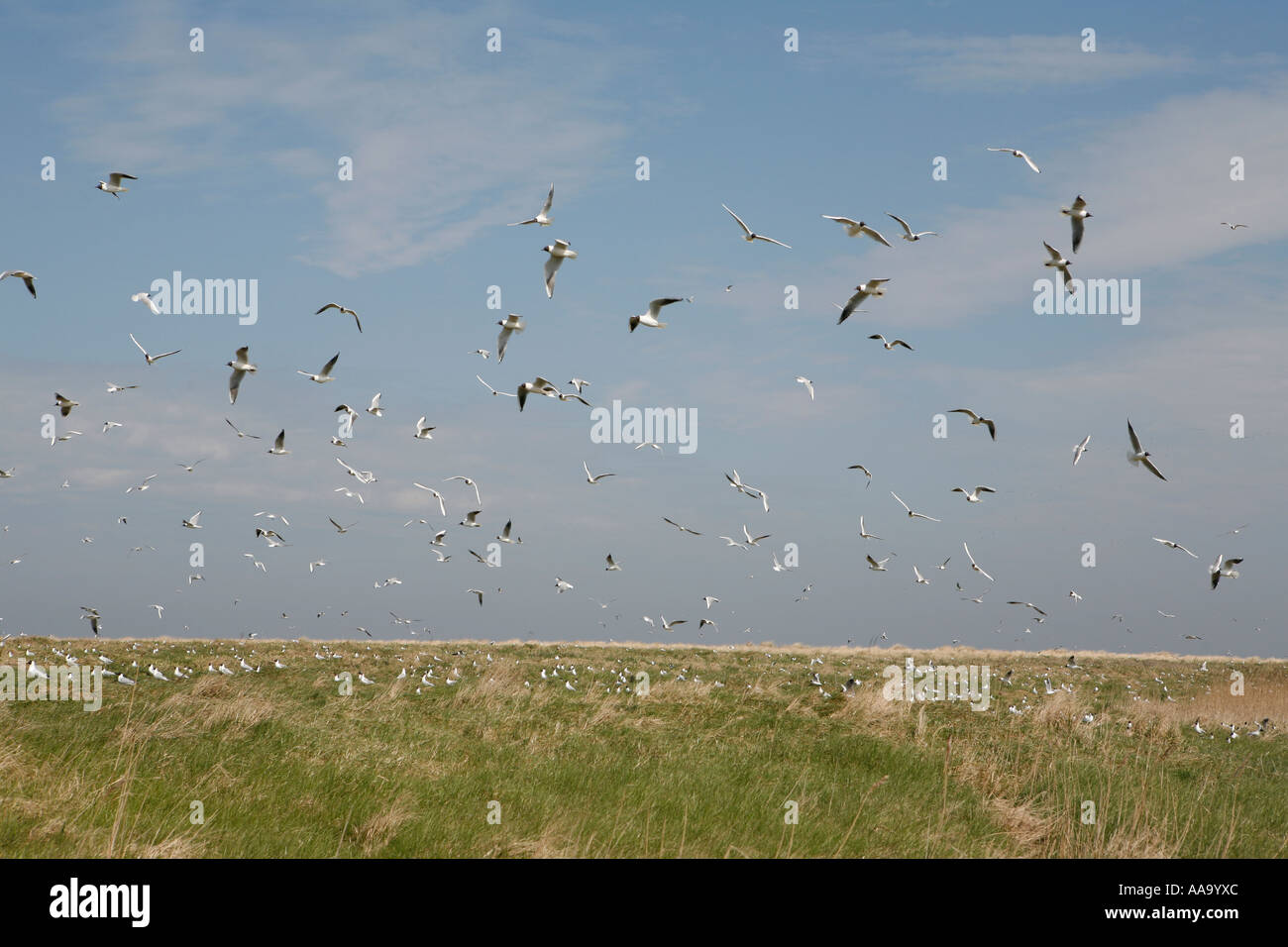 Huge flog of gulls at Griend, Holland - Stock Image
