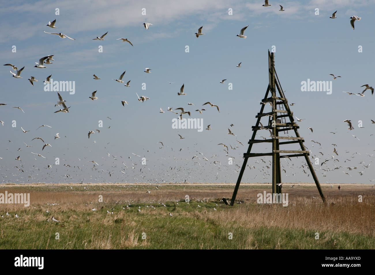 Huge flog of gulls near sea mark at Griend, Holland - Stock Image