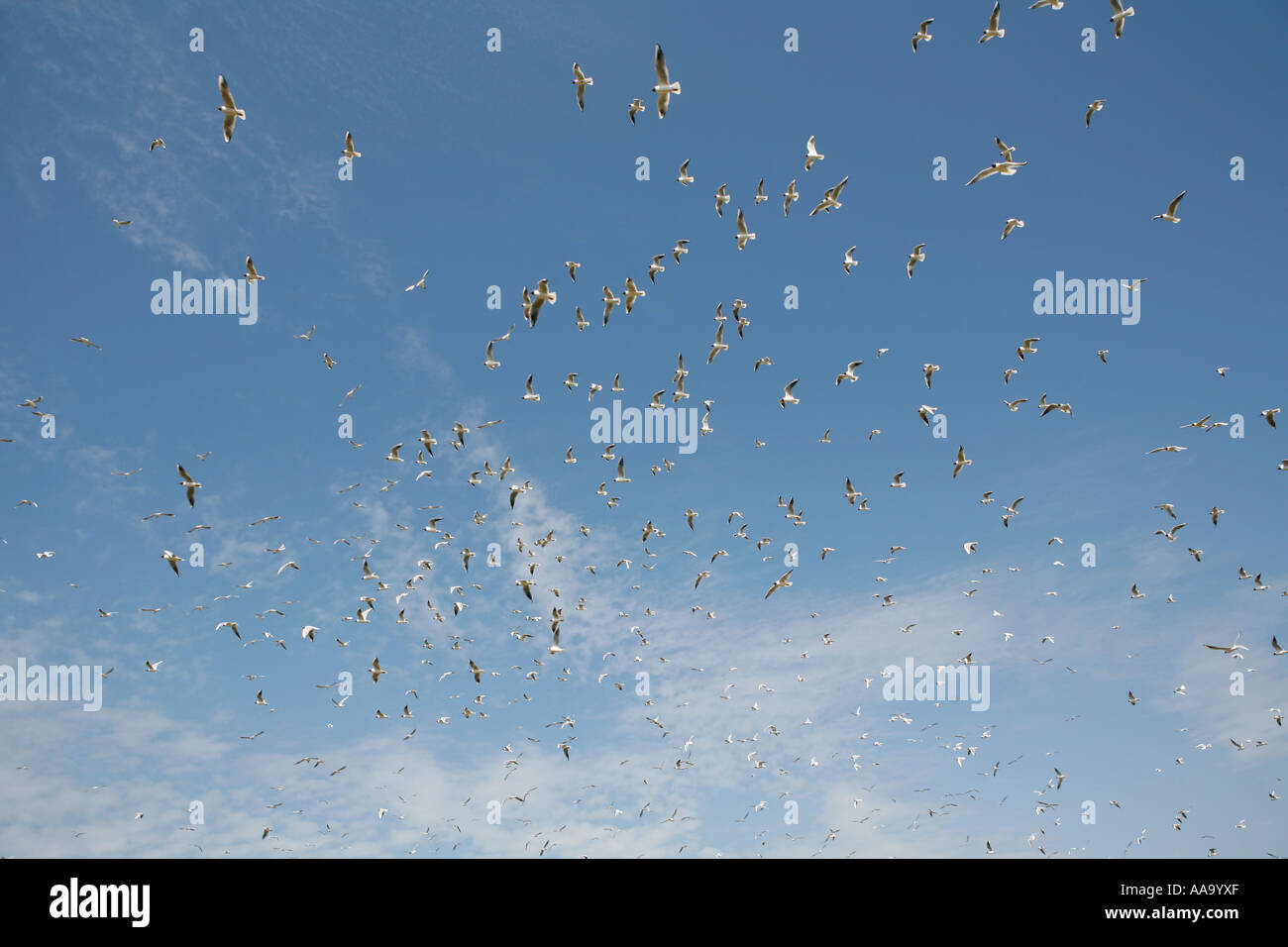 Huge flog of gulls in the air - Stock Image