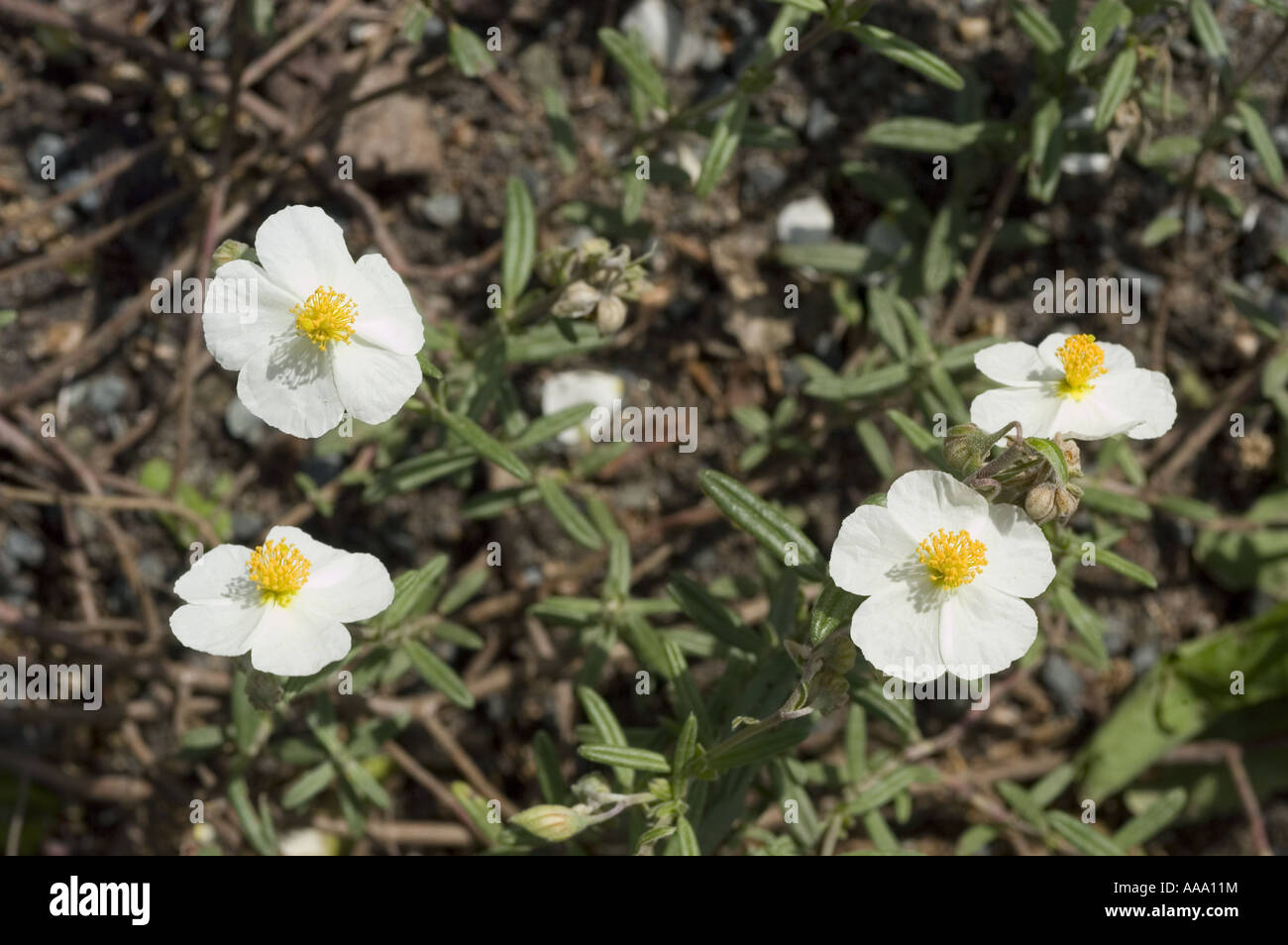 White Yellow Spring Flowers Of White Rock Rose Is A White Flowering
