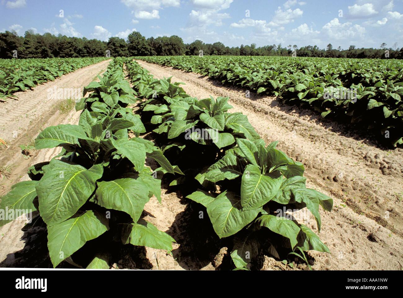 Elk218 2530 North Carolina Winston Salem tobacco field - Stock Image