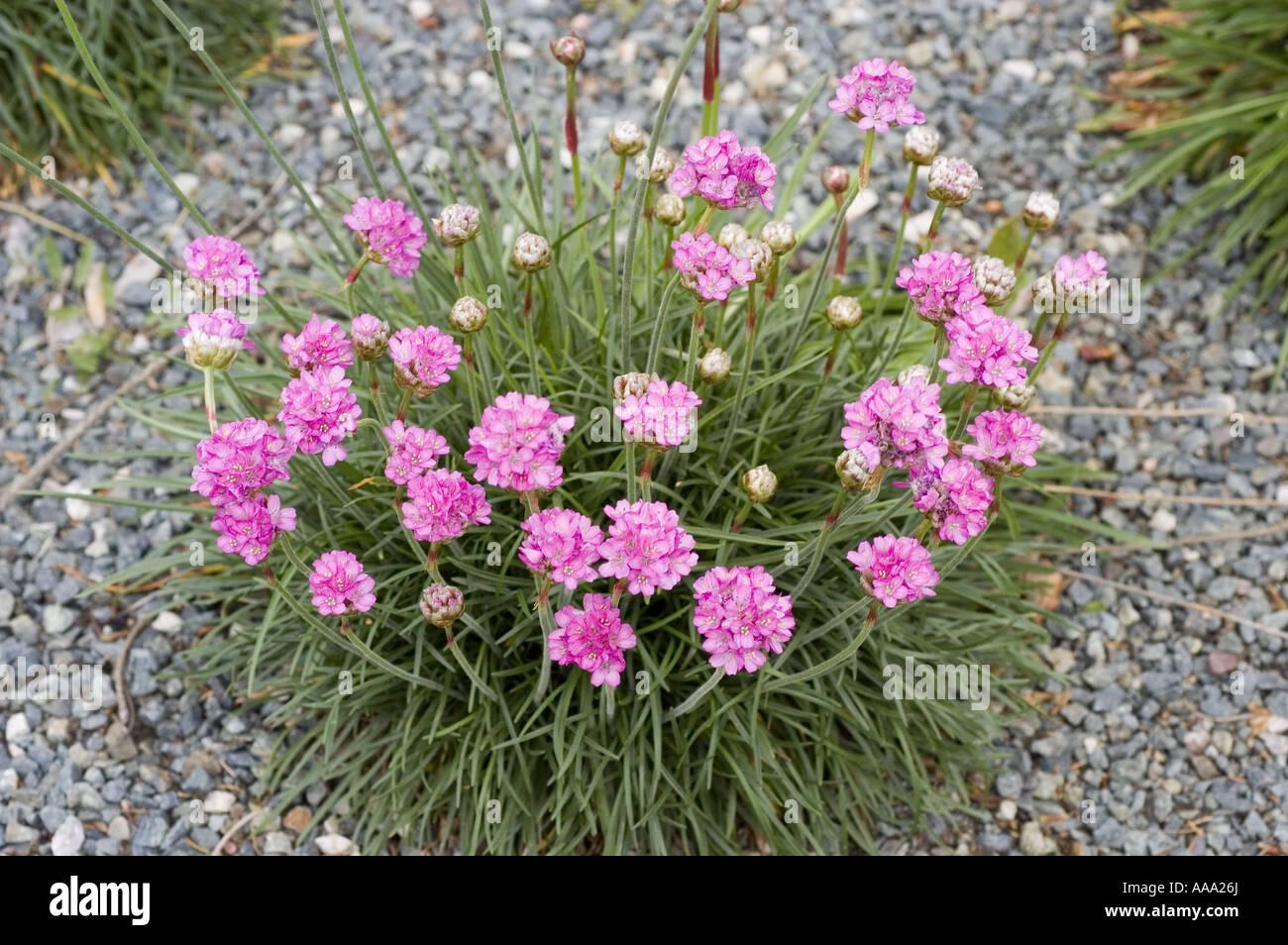 Sea pinks flowers images flower decoration ideas sea pinks flowers choice image flower decoration ideas sea pinks flowers gallery flower decoration ideas sea mightylinksfo