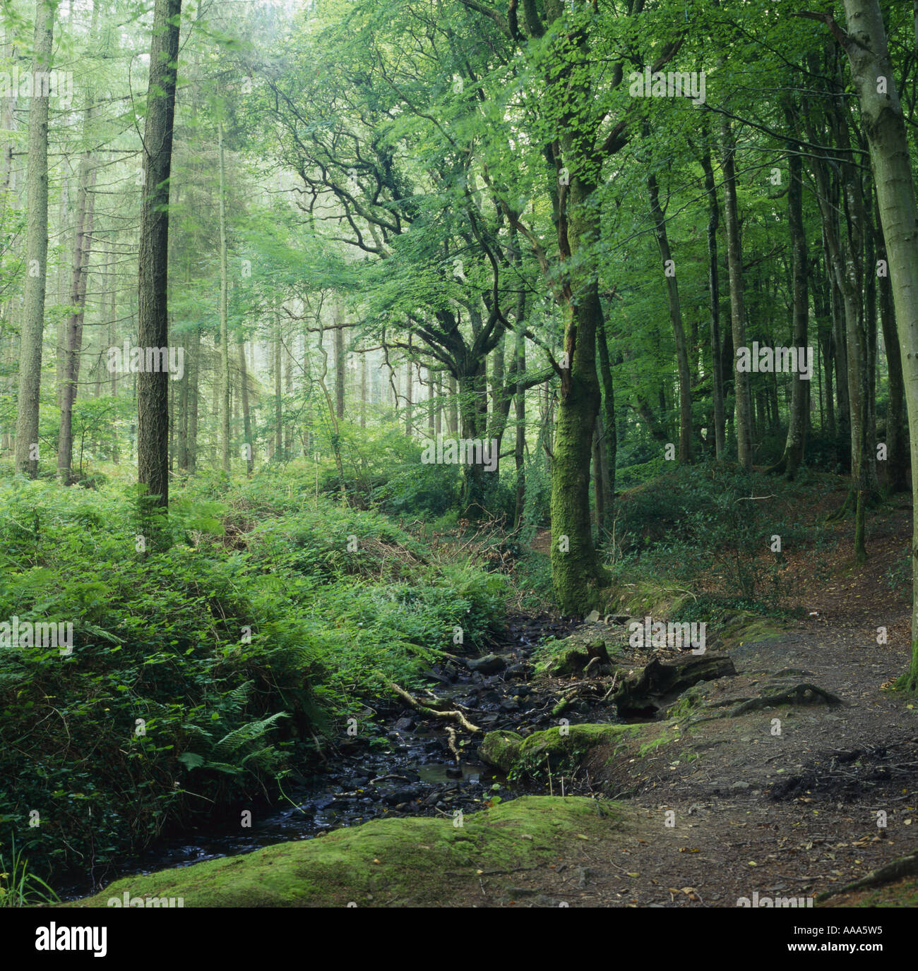 ancient woodland pembrokehsire - Stock Image