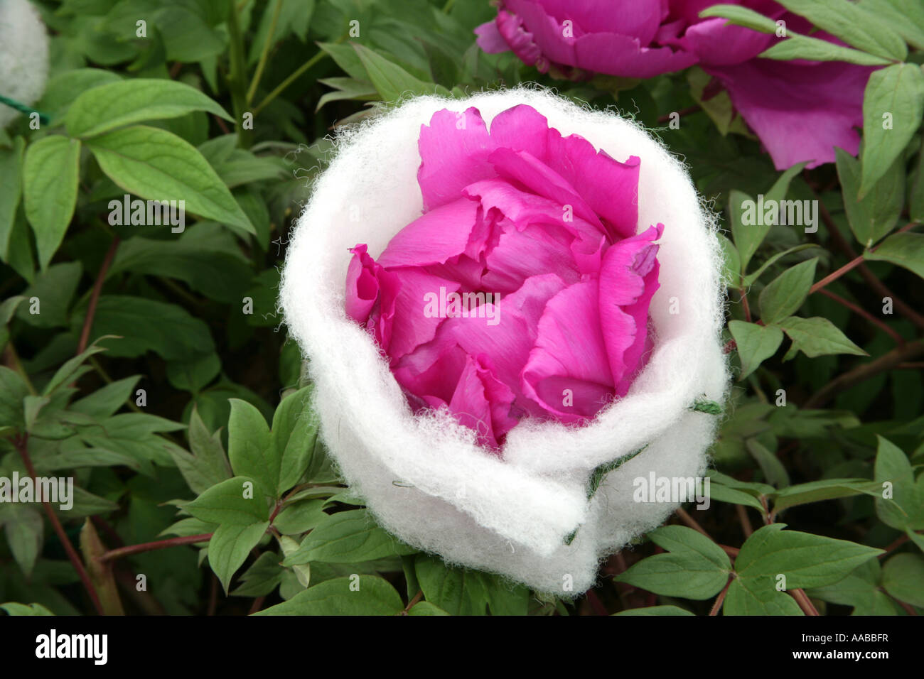 Paeonia Cardinal Vaughan wrapped in protective cotton wool prior to the Chelsea Flower Show - Stock Image