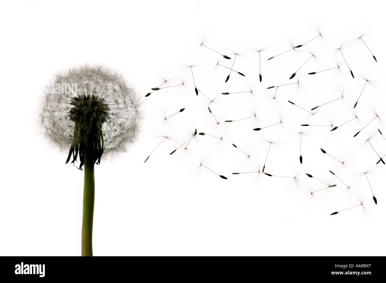 Dandelion head seeds - Stock Image