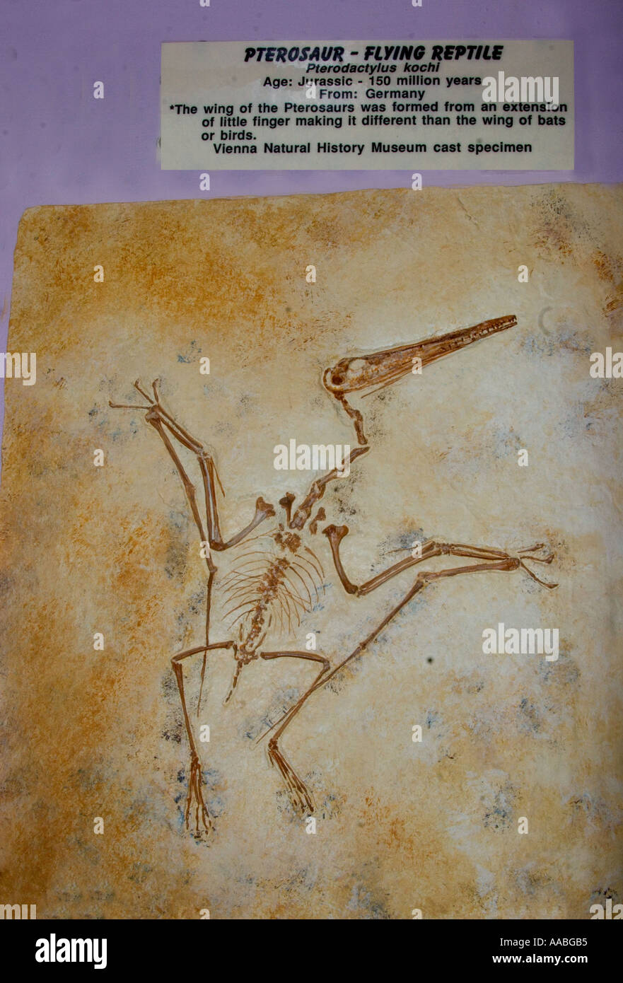 PF-25D FLYING PTEROSAURS FOSSIL - Stock Image