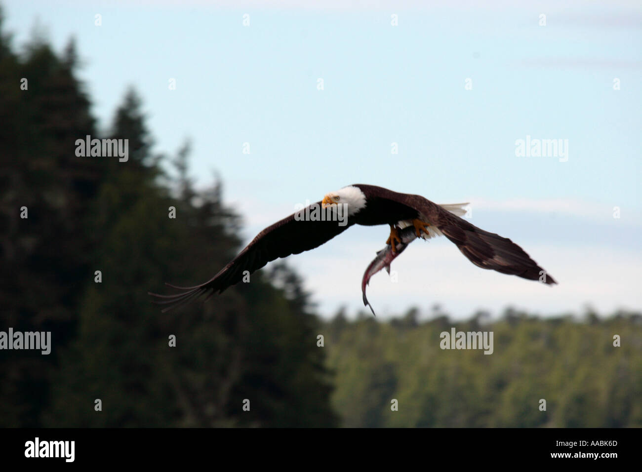 Bald Eagle with fish in talons in Flight near Tofino British Columbia Canada - Stock Image
