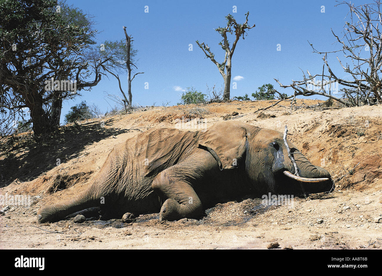 Dead elephant which has died of starvation - Stock Image
