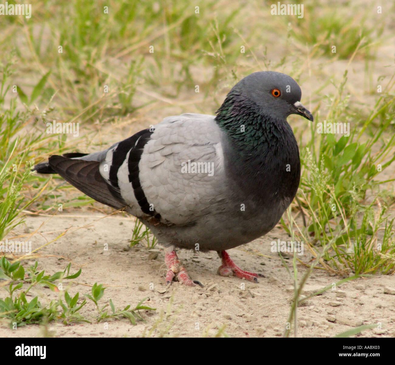 [Image: pidgeon-AABX03.jpg]