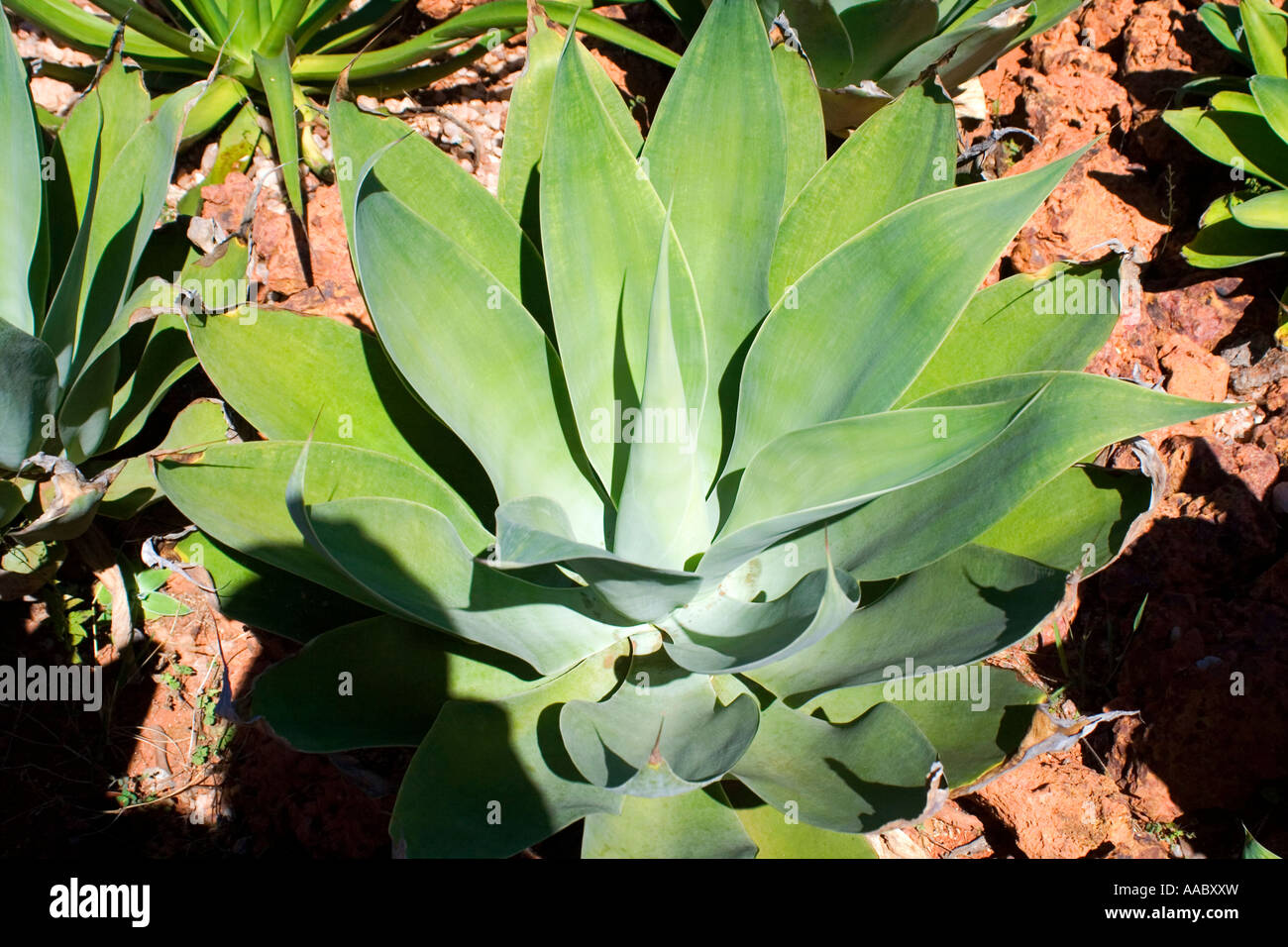Agave Attenuata Lion's Tail or Swan's Neck or Foxtail - Stock Image