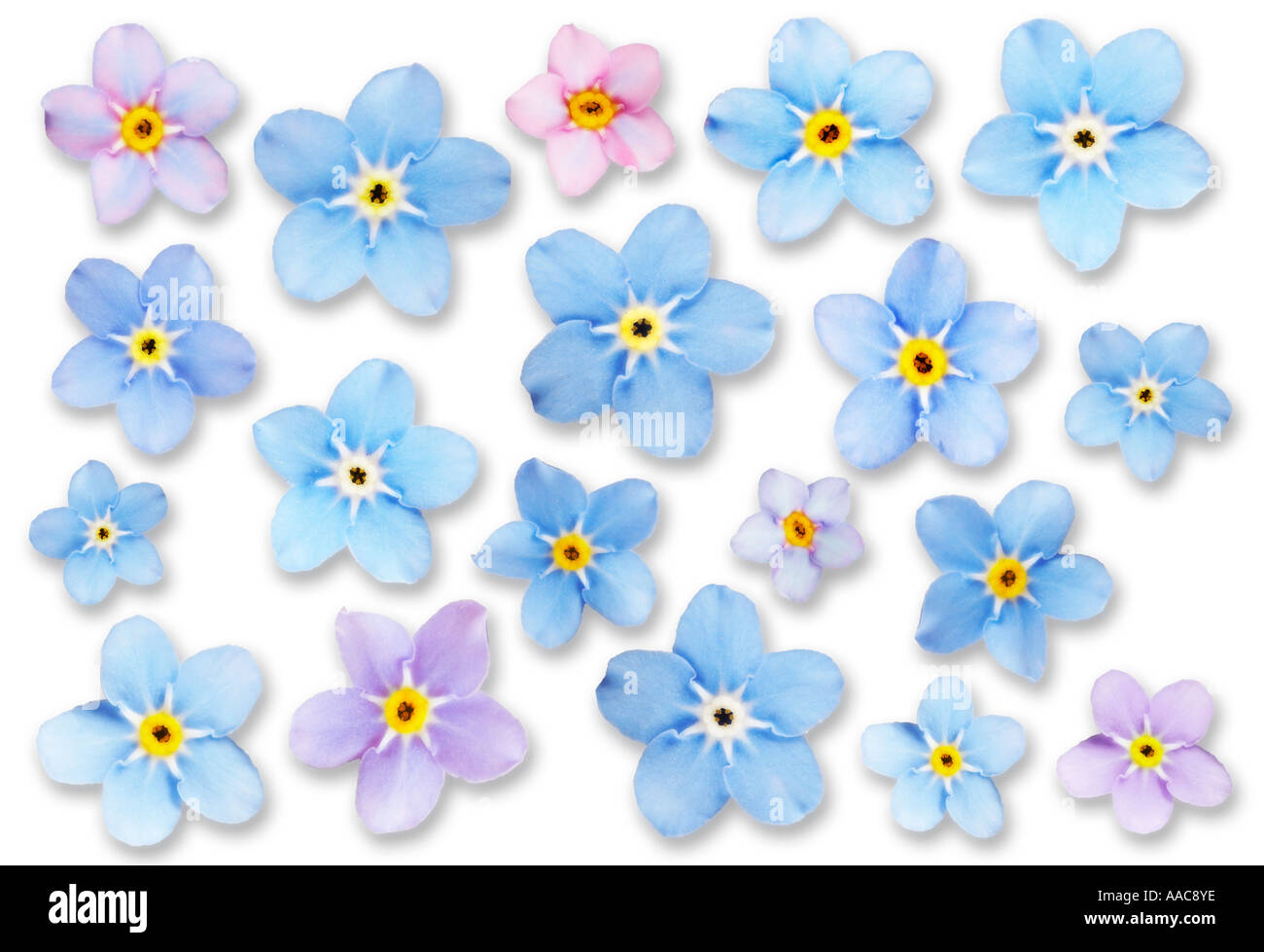 Abstracted Forget Me Not Flowers on White Background - Stock Image