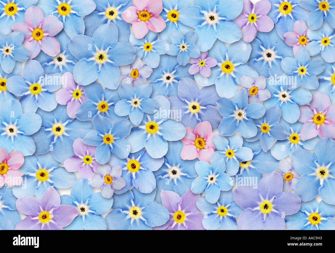 Abstracted Forget Me Not Flowers Texture Background (composite) - Stock Image