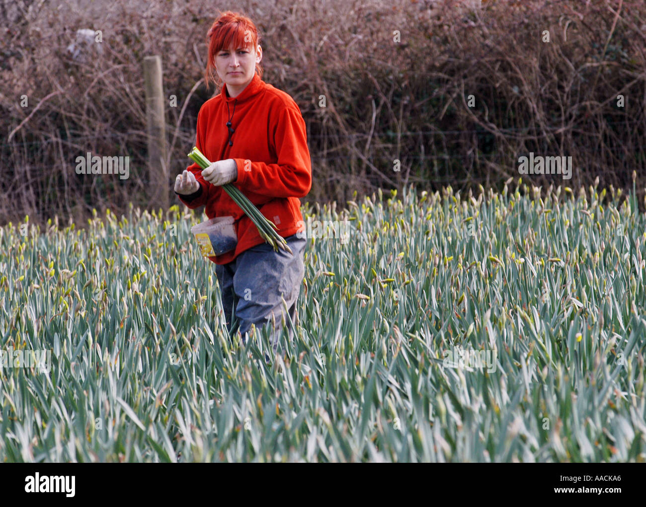 Migrant workers from Poland Latvia and Lithuania work on daffodil picking in the summer months in Cornwall, UK. - Stock Image