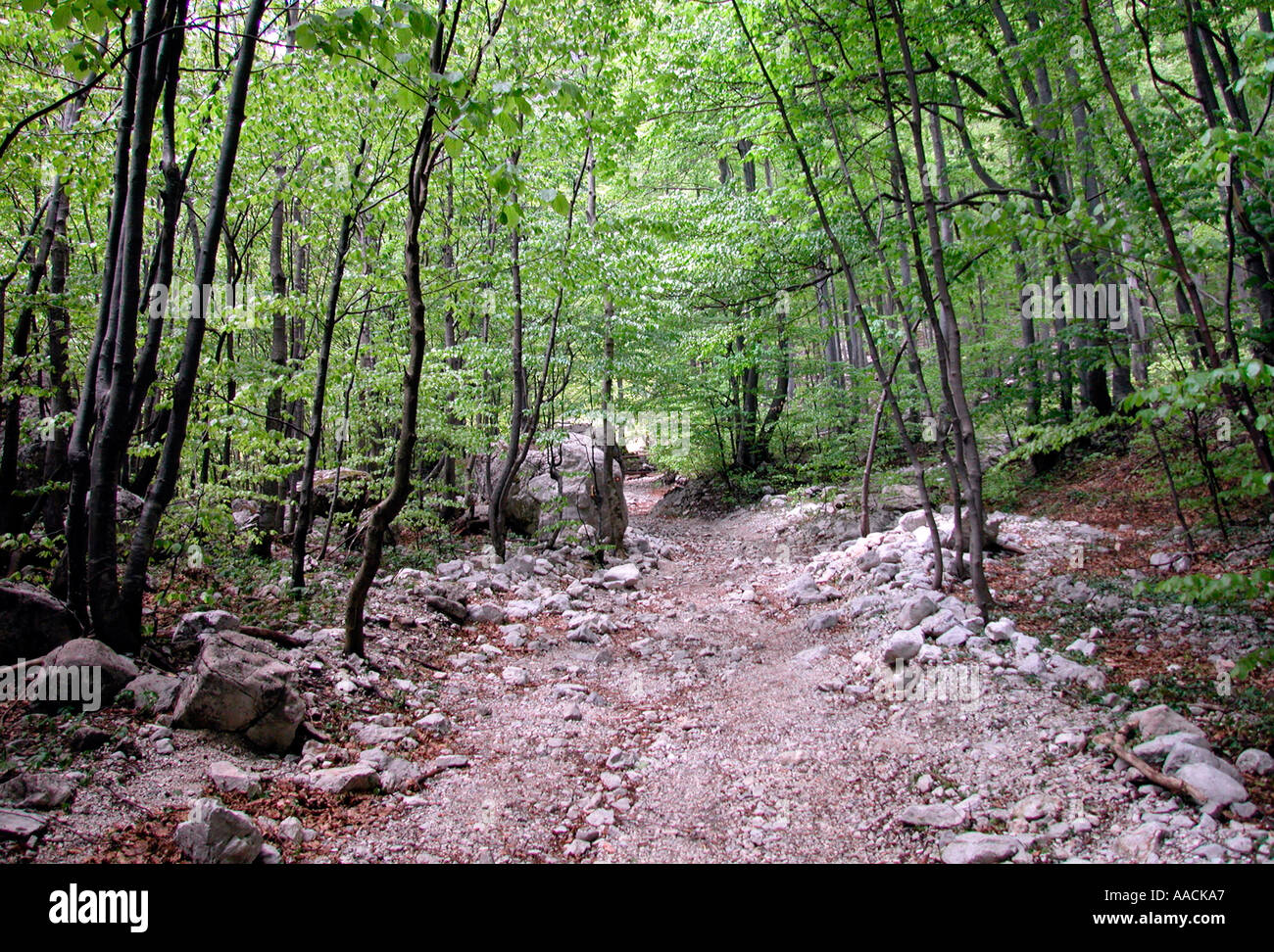 stony forest track through young beech forest in the springtime in Slovenia Stock Photo
