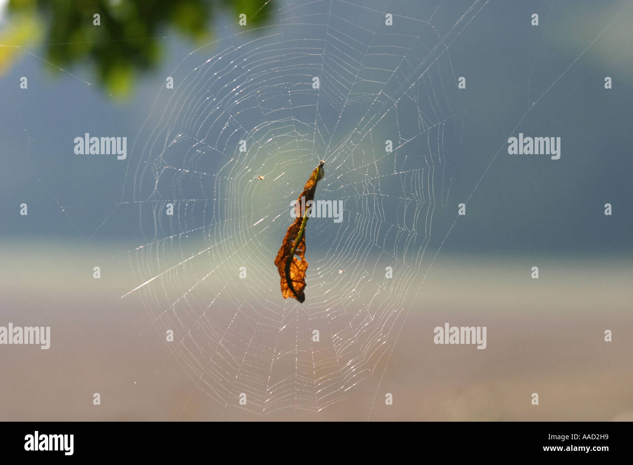 leave in a spiderweb - Stock Image