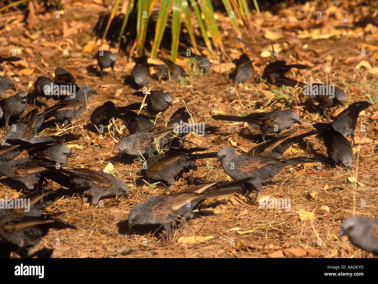 Apostlebird Struthidea cinerea Flock foraging Photographed in Northern Territory Australia - Stock Image