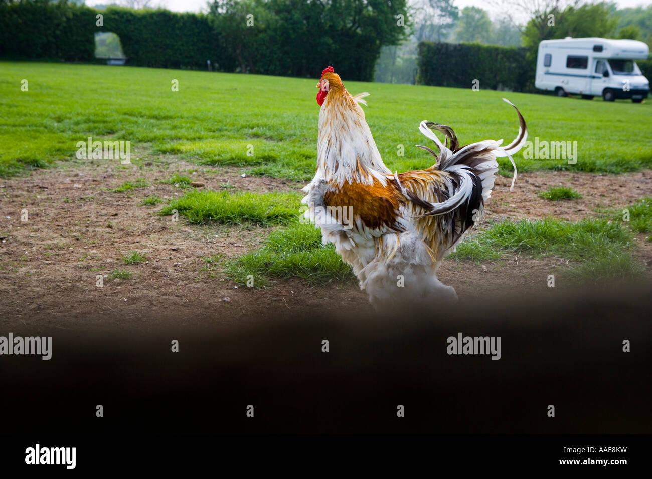 Freerange chicken Stock Photo