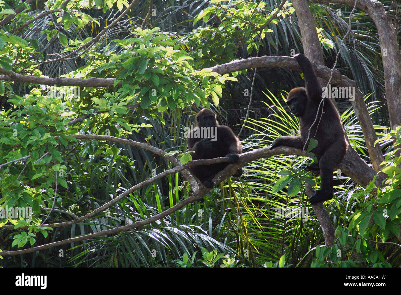 Two young western lowland gorillas in a tree on Evengue island in Gabon's Loango National Park rehabilitation - Stock Image