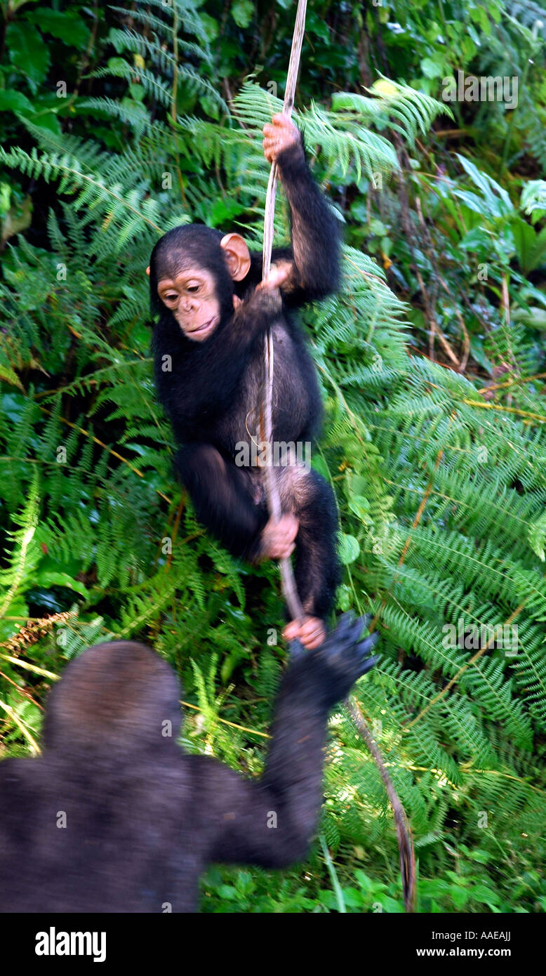 A tiny chimpanzee frolics with a young gorilla in trees at the Evaro Village island resort in Gabon Stock Photo