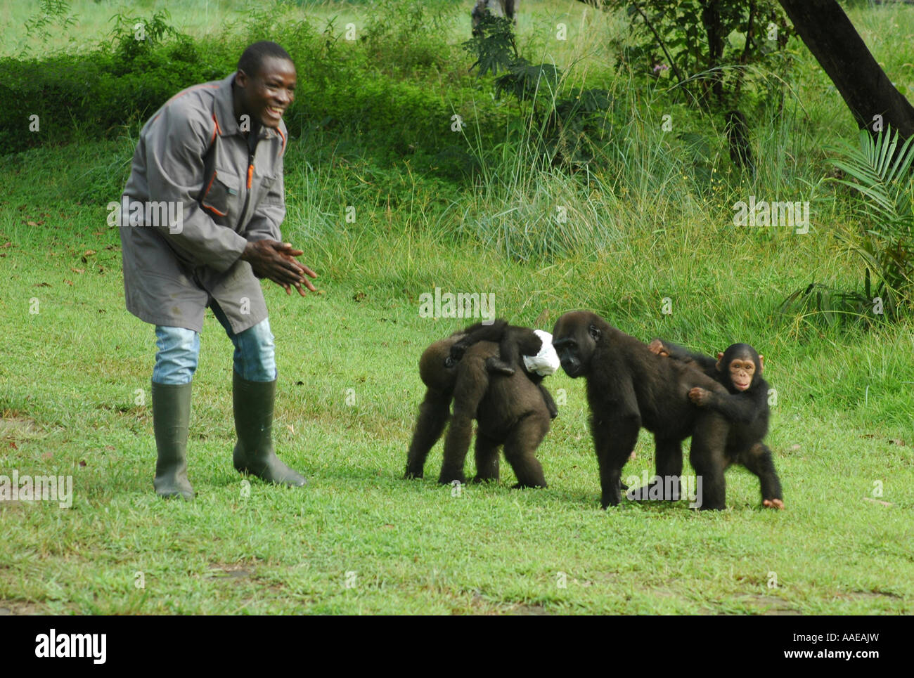 Orphaned western lowland gorillas and a tiny chimpanzee  walk with their carer at the Evaro Village lakeshore resort - Stock Image