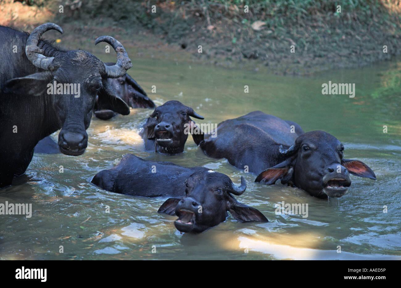 Water buffalos wallowing in a muddy pool at Khajuraho Madhya Pradesh India - Stock Image