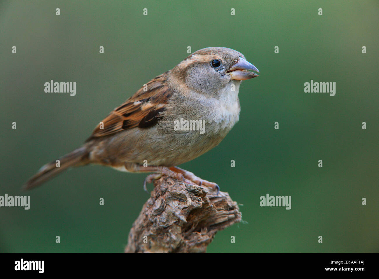 house sparrow - on branch / Passer domesticus - Stock Image