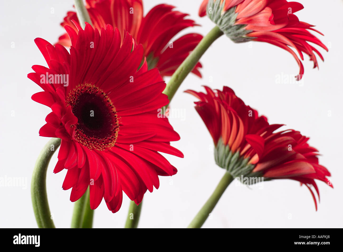 Red color four 4 Gerbera Flowers on white background Stock Photo ...