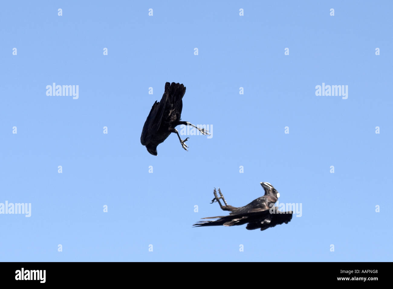Two thick billed raven birds Corvus crassirostris fighting against blue sky - Stock Image