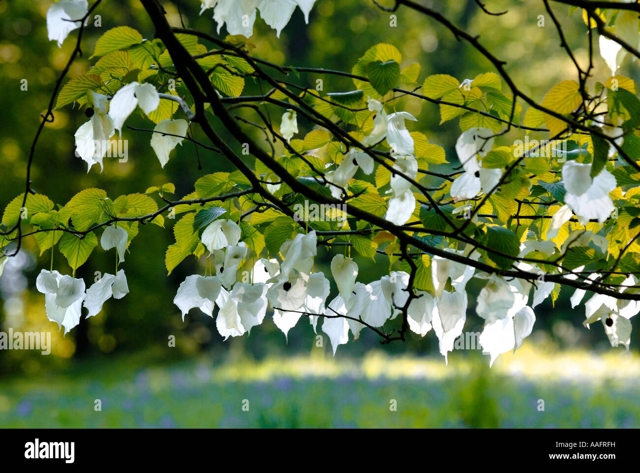 Hankerchief tree flowers at Queenswood in Herefordshire Stock Photo