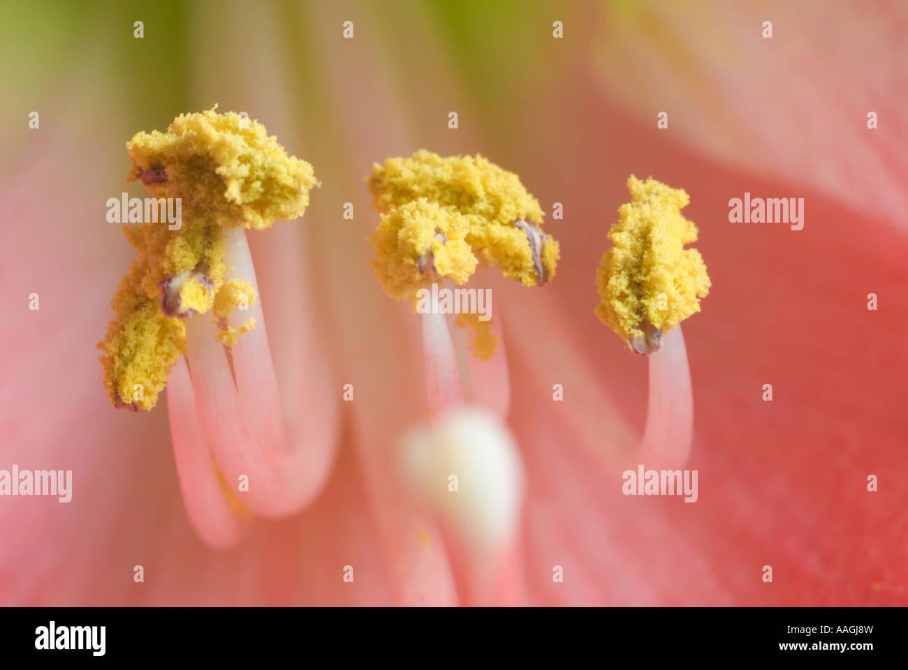Yellow pollen on the stamen of an Amaryllis. Stock Photo